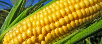 10041-close-up-of-an-ear-of-corn-in-a-field-or (1)